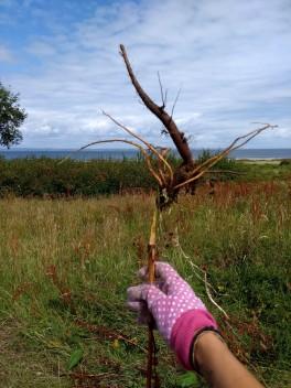 récolte racine rumex oseille crépue irlande harvest rumex roots dock ireland co clare