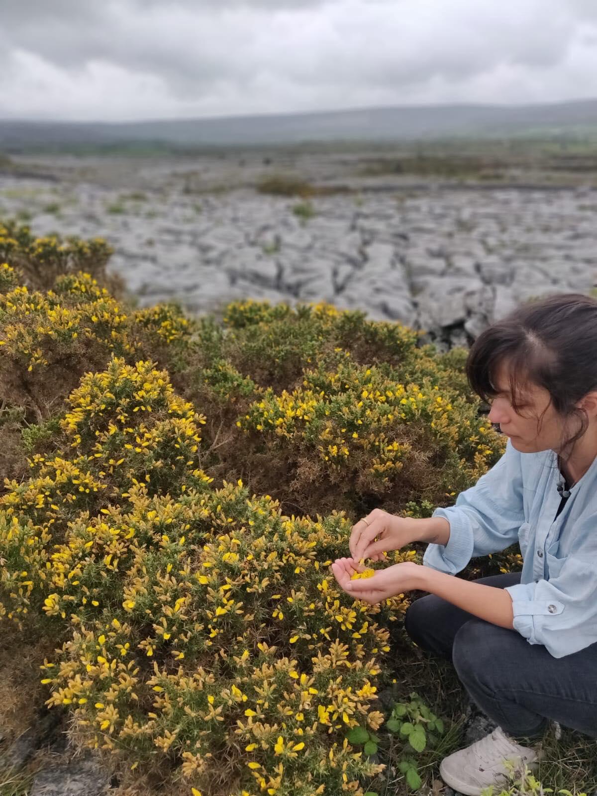 sionnach yarns naturally hand dyed yarn ireland burren irish indie dyer locally foraged gorse dyeing teinture végétale naturelle ajonc (1)